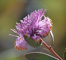 Isopogon Cuneatus by Helen Greenwood