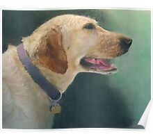 My yellow lab Poster