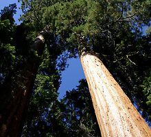 Twin Sequoias Light and Shadow by Michael Kirsh
