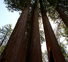Sequoias and Sky by Michael Kirsh