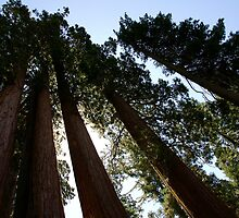 Sequoia Row by Michael Kirsh