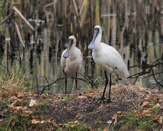Pair of Spoon Bills by Kym Bradley