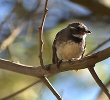 Grey Fantail by Helen Greenwood