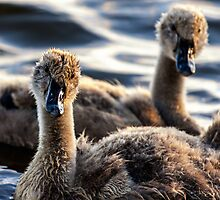 Sibling Cygnets by Vince Russell