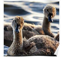 Sibling Cygnets Poster