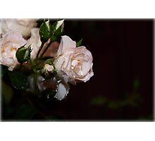 Christmas Rose Photographic Print