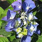 Blue Lace Cap - Hydrangea Blossom by BlueMoonRose