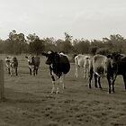 cattle by Lilyan Flett