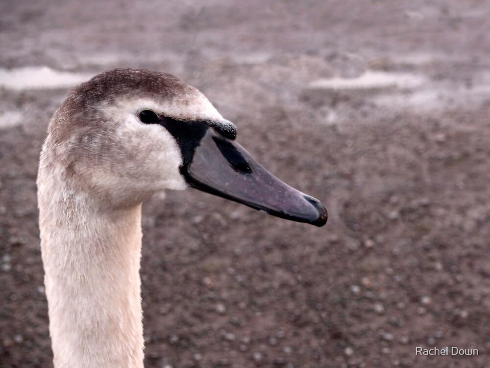 Juvenile Swan by Rachel Down