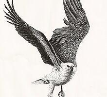 White-bellied Sea-Eagle (Haliaeetus leucogaster) by Elizabeth Russell-Arnot