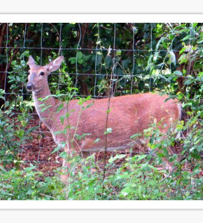 Doe, a Deer... Sticker