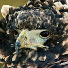 Young Bateleur Eagle by Kawka