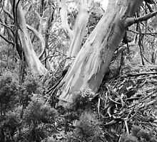 Snow Gums #2 by Bette Devine