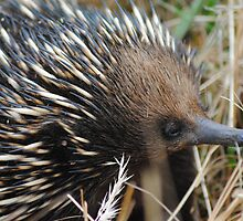 Echidna, looking for his evening meal #2 - Whittlesea, Victoria by Heather Samsa