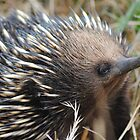 Echidna, Looking for his Evening Dinner #1 - Whittlesea, Victoria by Heather Samsa