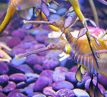 Weedy Sea Dragon by ©Dawne M. Dunton