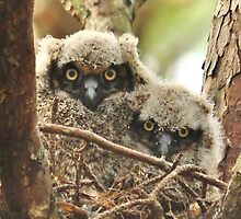 Baby Great Horned Owlets by Kathy Baccari