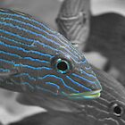 Blue-striped Grunt In Selective Color by Dawne Dunton