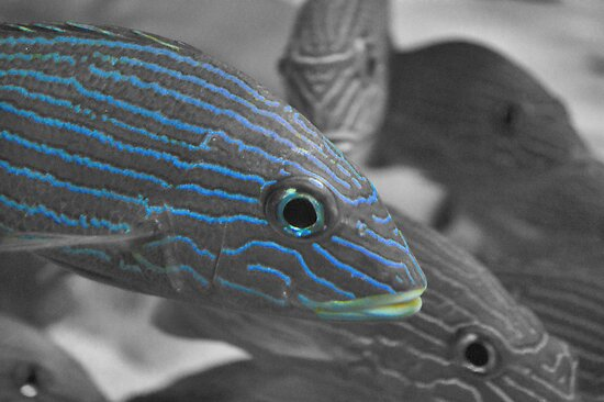 Blue-striped Grunt In Selective Color by ©Dawne M. Dunton