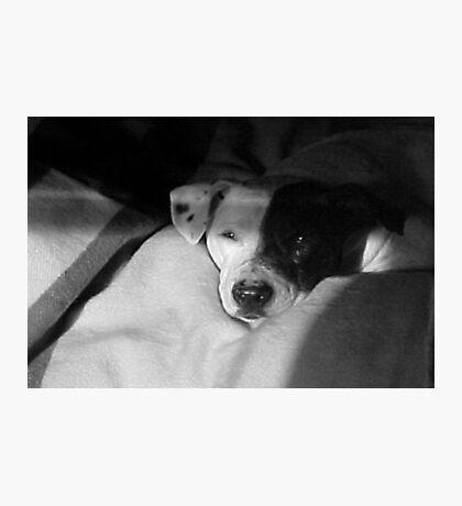 Shiner Dog~Pit Bull Mix Photographic Print