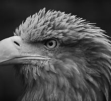 White Tailed Sea Eagle (B&W) by Tim Waters