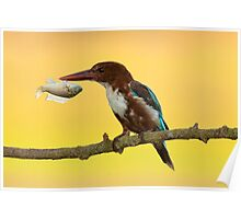 White-throated kingfisher with a fish in its beak Poster