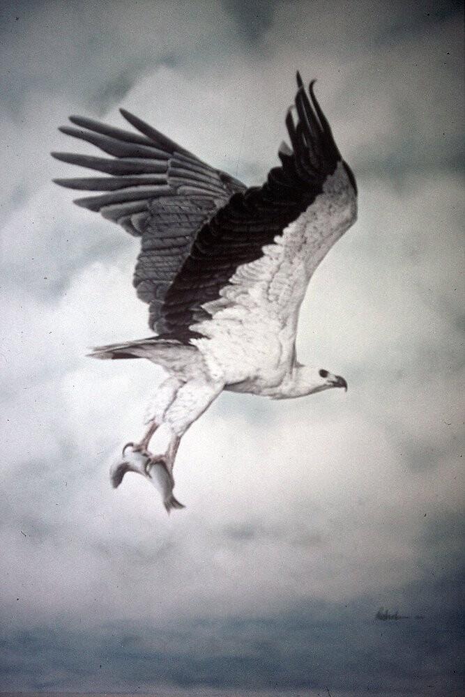 White-bellied Sea-Eagle (Haliaeetus leucogaster) 2 by Elizabeth Russell-Arnot