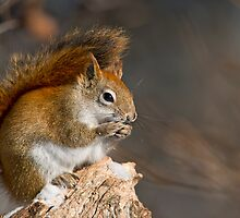 Red Squirrel by Michael Cummings