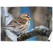 Common Redpoll Poster