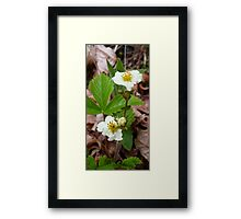 Strawberry Flower Framed Print