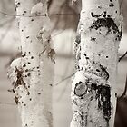 Snow on Birch by KBritt