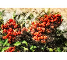 Holiday Berries Photographic Print
