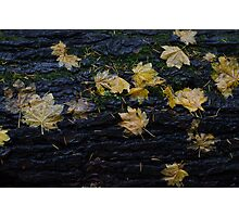 Maple Leaves on Stump Photographic Print