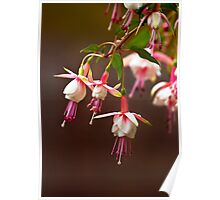 Fuschia from My Garden Poster