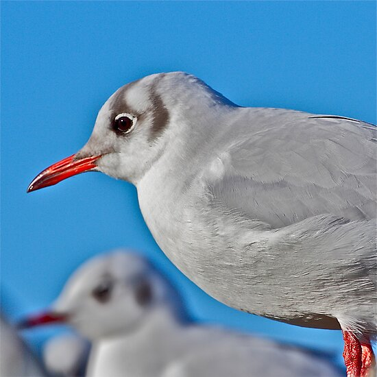 Gull by John Thurgood
