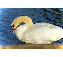 SWAN AT SUNSET Photographic Print