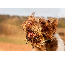 Brown Roan Italian Spinone Dog Head Shot Photographic Print