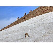 Cruising Rams Photographic Print