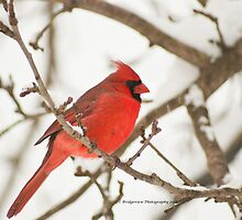 Cardinals and snow just go together by Penny Rinker