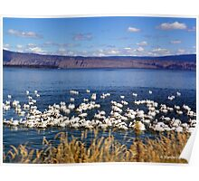Pelicans on Klamath Lake Poster