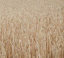 wheat by Junec