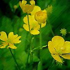 Buttercups. by Bette Devine
