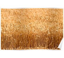 Wheat Field ready for harvest Poster