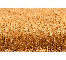 Wheat Field ready for harvest Photographic Print