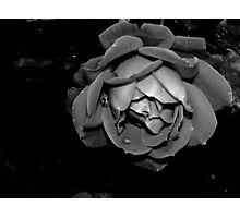 Dewy Rose Black and White Photographic Print