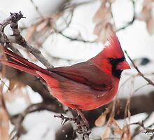 Cardinal by JoeDavisPhoto