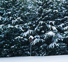 Snow on the Pines by AbeCPhotography