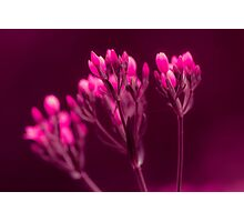 Flora - Pink buds Photographic Print