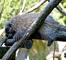 New World Porcupine by Vac1