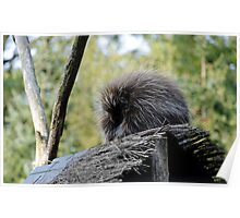 New World Porcupine Poster